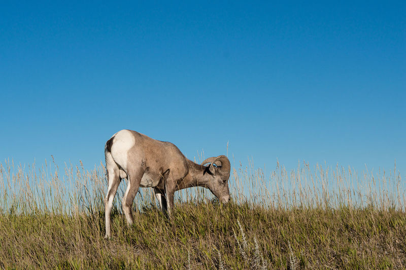 Bighorn sheep grazing on field