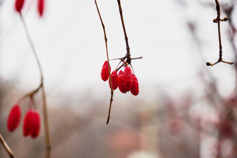 Beauty In Nature Berry Fruit Close-up Cornus Cornus Fruit Day Fruit Nature Outdoors Tree