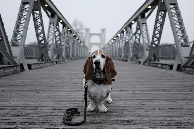 Dog Basset Fog Old Dog Mature Stately Bridge Suspension Bridge Wooden Bridge Hanging Lights Leash Misty Lost Wood Rustic Weathered Iron Waco Texas Brazos River Crossing Portrait Gray