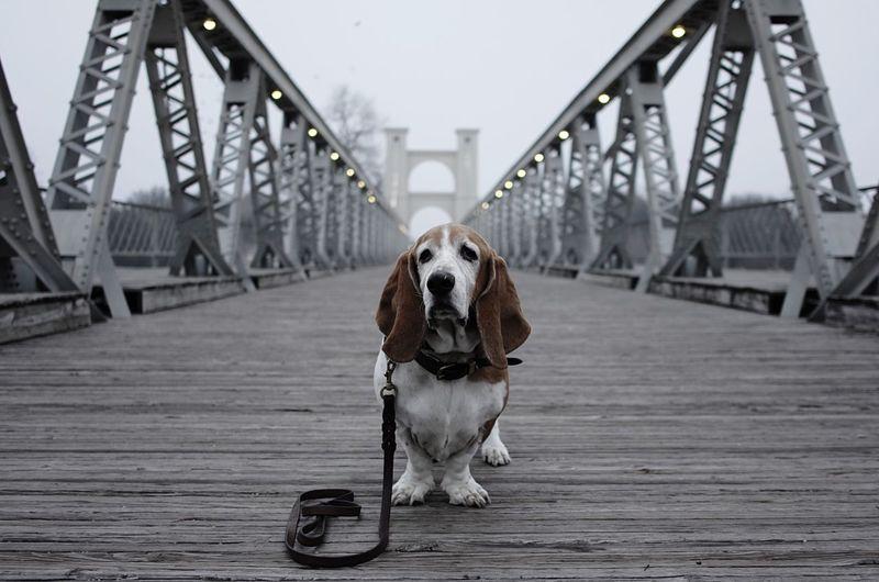 Dog Basset Fog Old Dog Mature Stately Bridge Suspension Bridge Wooden Bridge Hanging Lights Leash Misty Lost Wood Rustic Weathered Iron Waco Texas Brazos River Crossing Portrait Gray