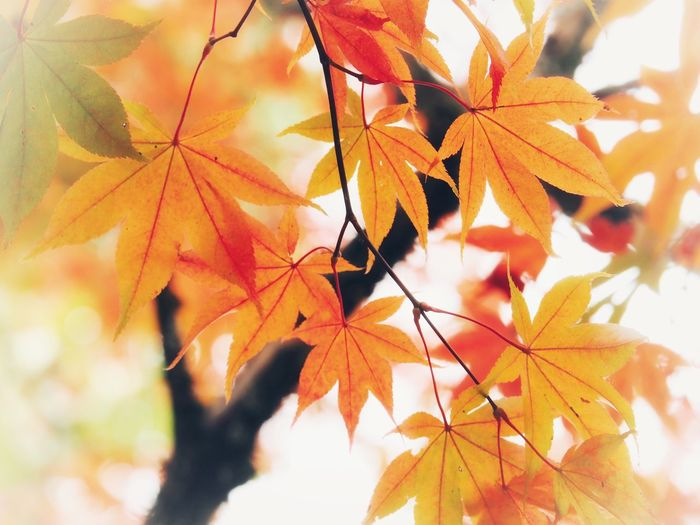 Autumn Leaf Change Nature Maple Leaf Beauty In Nature Day Maple Maple Tree Outdoors No People Sunlight Growth Close-up Branch Tree