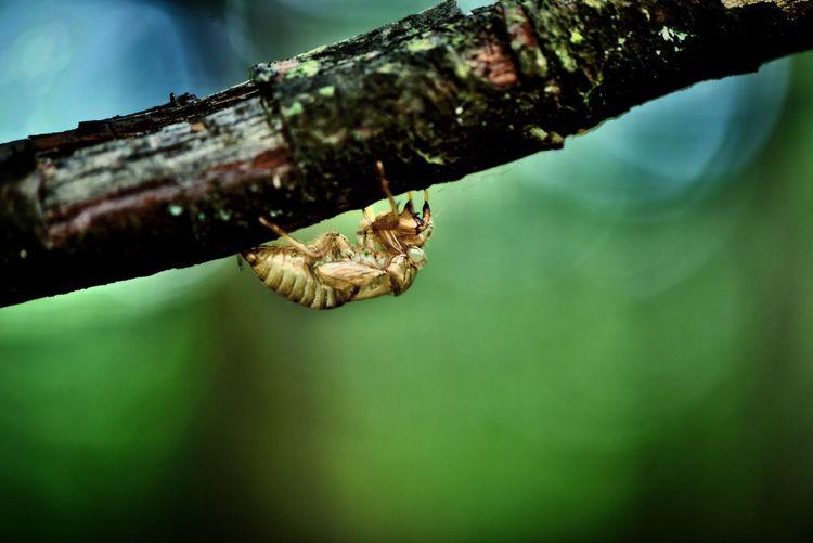 ぼくの夏休み #ぼく夏 #ペンションすずらん #セミの抜け殻 #山梨県 #甲州市 #虫 #昆虫 #セミ Animal Themes One Animal Animal Wildlife Animals In The Wild Animal No People Nature Invertebrate Insect Reptile Focus On Foreground Outdoors Day Close-up Water Green Color Vertebrate Zoology Sea The Great Outdoors - 2018 EyeEm Awards