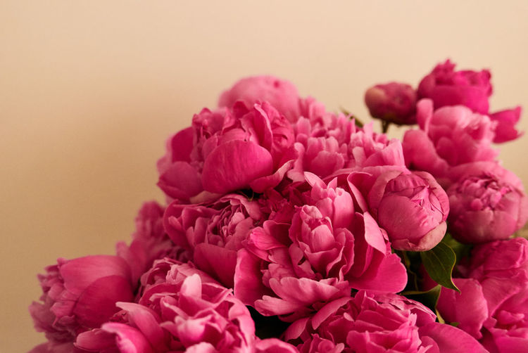 Beauty In Nature Freshness Flowering Plant Flower Pink Color Plant Close-up Petal Fragility No People Vulnerability  Indoors  Flower Head Inflorescence Nature Flower Arrangement Studio Shot Bouquet Colored Background Bunch Of Flowers Peonia The Minimalist - 2019 EyeEm Awards