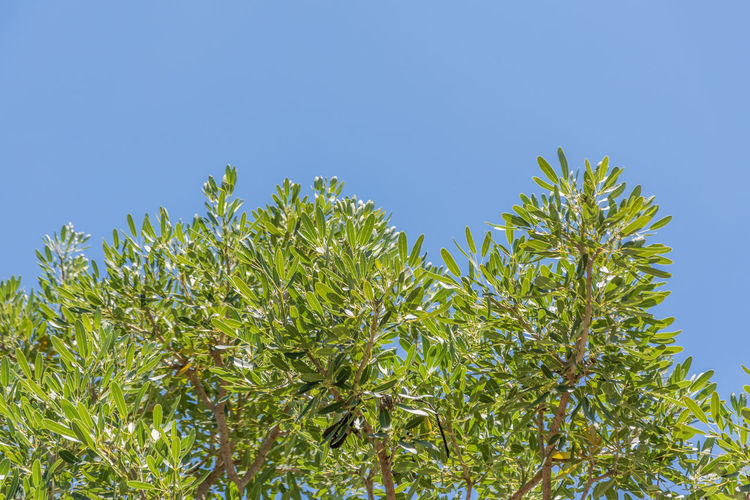 Plant Sky Clear Sky Blue Growth Plant Part Leaf Nature Day No People Beauty In Nature Low Angle View Green Color Copy Space Outdoors Tree Freshness Food And Drink Close-up