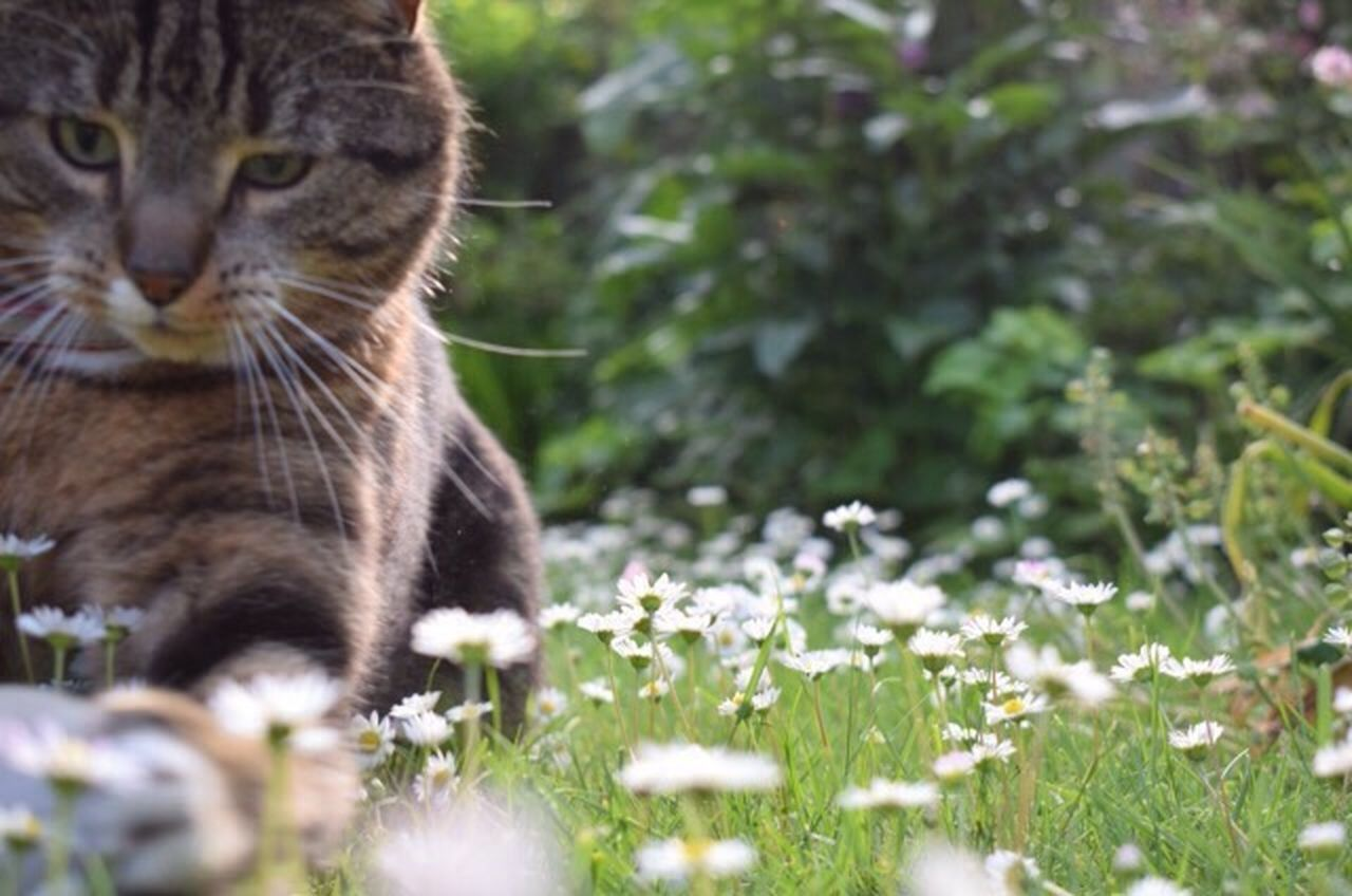 domestic cat, one animal, animal themes, feline, flower, domestic animals, outdoors, day, whisker, mammal, pets, no people, nature, grass, close-up
