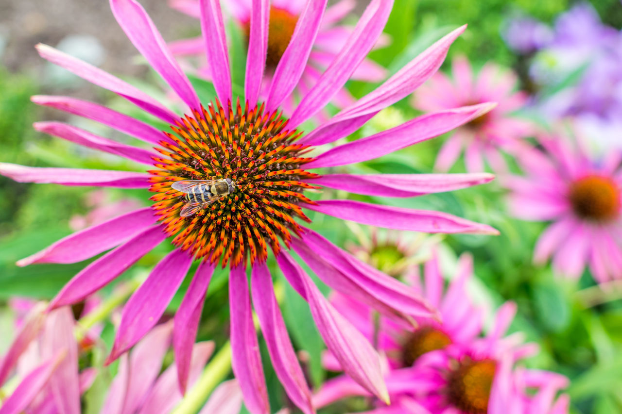 flower, flowering plant, fragility, petal, flower head, vulnerability, freshness, plant, growth, pink color, beauty in nature, inflorescence, close-up, coneflower, pollen, day, focus on foreground, no people, nature, selective focus, purple, outdoors, pollination