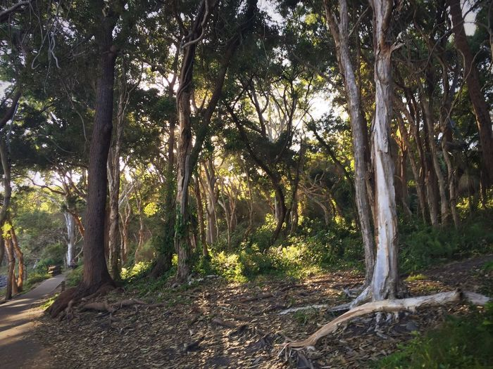 Noosaheads Noosa Tree Plant Tree Trunk Land Forest Tranquility Beauty In Nature No People Tranquil Scene Nature Sunlight Outdoors
