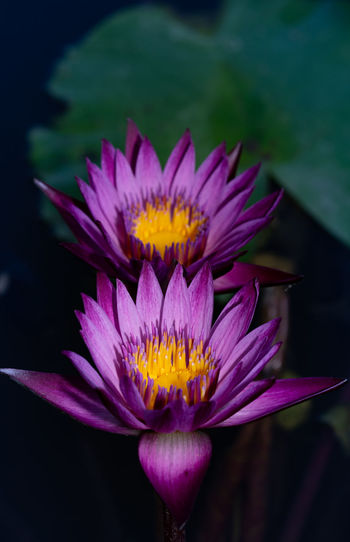 High angle view of purple lotus water lilies growing in pond