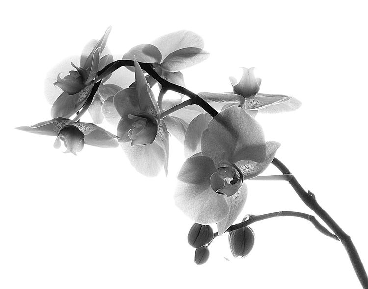 Orchids Orchidee Orchidea Orchid Orchid Flower Blooming Natural Beauty Nature Photography Natural Art  Blackandwhite Photography