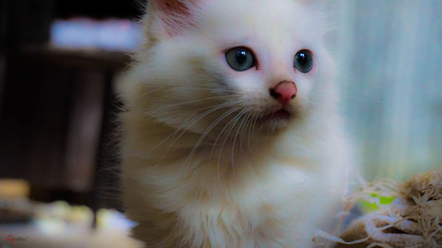 looks Kitty Kitten Domestic Cat Pets Eye Cute Portrait Kitten Domestic Animals Whisker Close-up