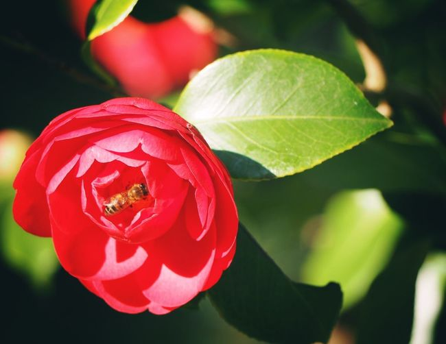Camellia Flower Bee Flower Bee Royal Botanic Gardens, Melbourne Red Close-up Plant Part Leaf Plant Growth Beauty In Nature Flower Focus On Foreground Fragility Petal Vulnerability  Flowering Plant Nature Freshness No People Insect Day Flower Head