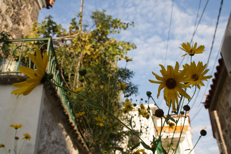 Molivos Beauty In Nature Close-up Cloud - Sky Day Flower Flower Head Flowering Plant Focus On Foreground Fragility Freshness Growth Lesvos Mytilene Nature No People Outdoors Plant Sky Tree Vulnerability  Yellow