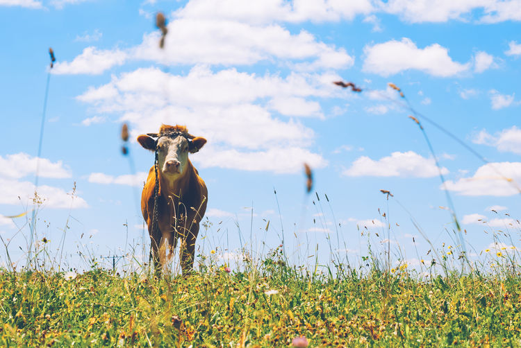 Cow and flowers in meadow against cloudy sky