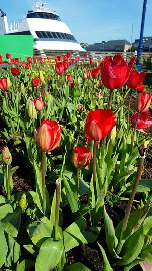 Roses are red, tulips are too, im spreading the love of Valentines Day from me to YOU! HappyValentinesDay❤ Everyday Is An Opportunity To Share LOVE. Love Tulips Sanfrancisco Youareloved God Is Love ❤ Smile Flowers Nature GodsLove Beach Beauty Beautiful Day RichlyBlessed Yeah Springtime! Changing Seasons