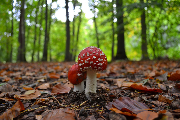 Close-Up Of Fly Agaric Mushroom In Forest
