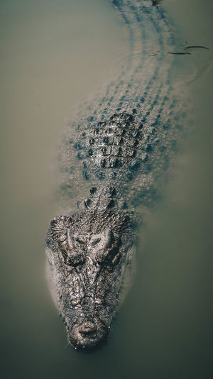 High angle view of crocodile swimming in lake