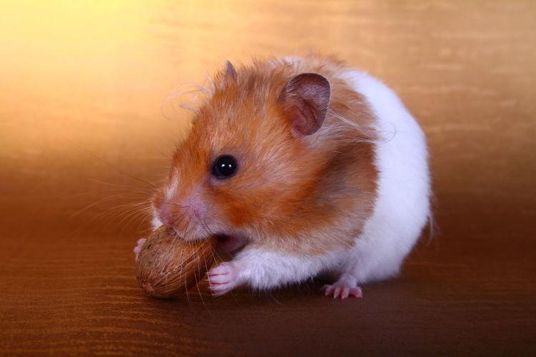 Golden hamster eating peanut on table