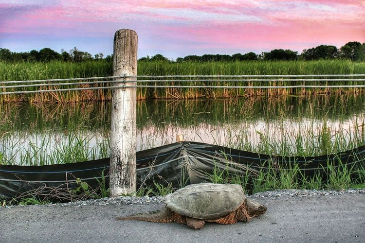 Huge turtle on road by river and farm against sky during sunset
