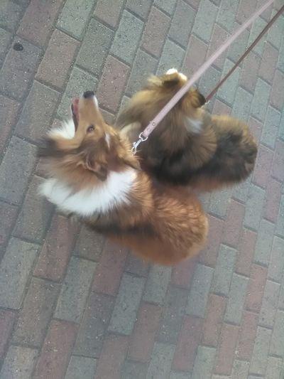 Mascotas Paseo Perros❤ Animal Themes Collies Of Eyeem Domestic Animals High Angle View Parejas♡ Pedigree Dog Pets Raza