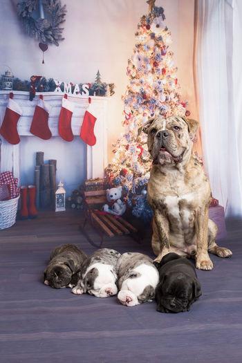 Animal Animal Themes Animals Baby Babydog Babydoggy Bulldog Cute Dog English Bulldog Love My Dog  OEB Old English Bulldog Pet Pets Stuffed Animal Stuffed Animal Friend Stuffed Animal Photo Shoot Sweet