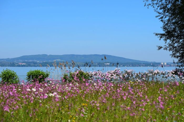 Nature Flower Beauty In Nature Blue Clear Sky Scenics Sea Outdoors Water Tranquil Scene Day No People Bodenseebilder Bodensee Bodenseeufer Tranquility Growth Landscape Mountain Tree Sky Freshness Seeufer Frühling Blumenwiese