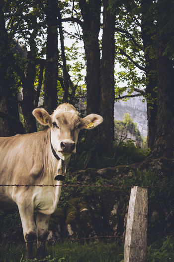 Cow On Field Against Trees