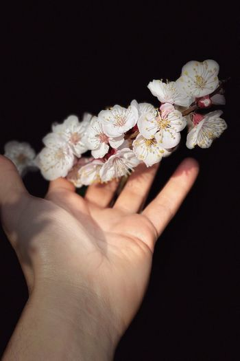 Close-up of hand holding cherry blossom against black background