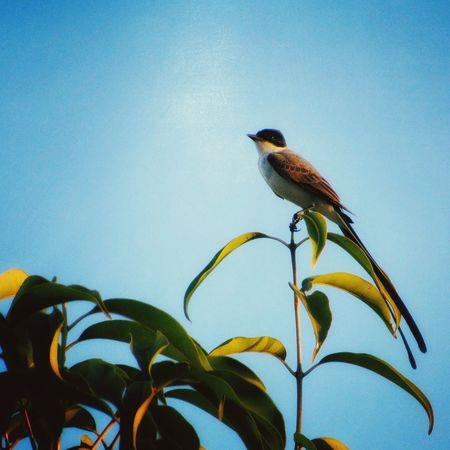 Pássaros do cerrado. Animal Themes Wildlife Bird Close-up Zoom Modografiabrasil Modografia Modografiavisual Gilbertopascoaljunior Gilbert J. Photography Palmas-TO-Brasil
