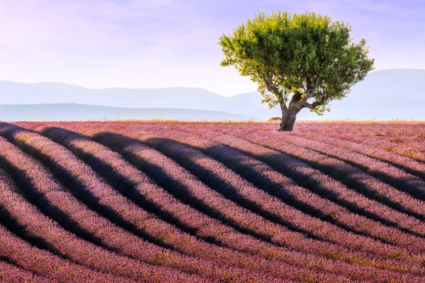 Light and shadow. Lavender field in Provence at sunset Beauty In Nature Composition Field Landscape Lavender Lavender Field Lavender Purple Light And Shadow Nature No People Outdoors Provence Rows Of Lavender Rural Scene Scenics Silence South Of France Summer Sunset Tranquil Scene Tranquility Tree Tree Waiting