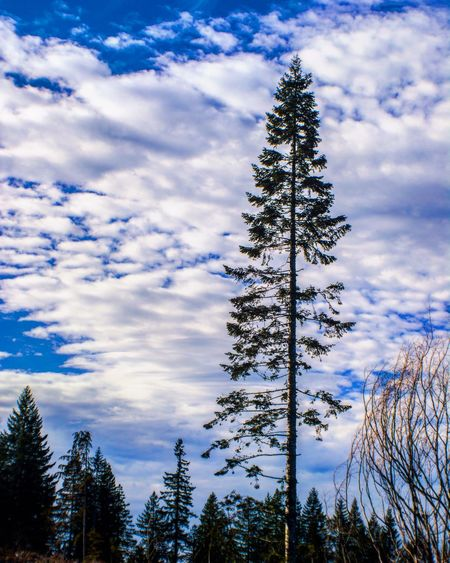 Pine trees against sky during winter