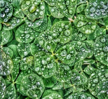 Simple things in life. .. HDR Hdr_lovers Clover Raindrops Green Texas Enjoying Life Dramatic Edit Hello World Streamzoofamily 2016 Richwood Texas Iseetheworldinhdr EyeEm Nature Lover