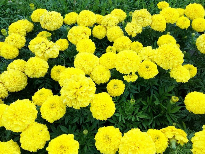 High angle view of yellow marigolds blooming outdoors