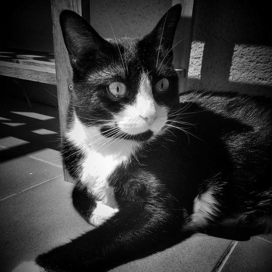 Blackandwhitecat Blackandwhitecats Cat Cats Cat Lovers Cat♡ Blackandwhite Blancoynegro