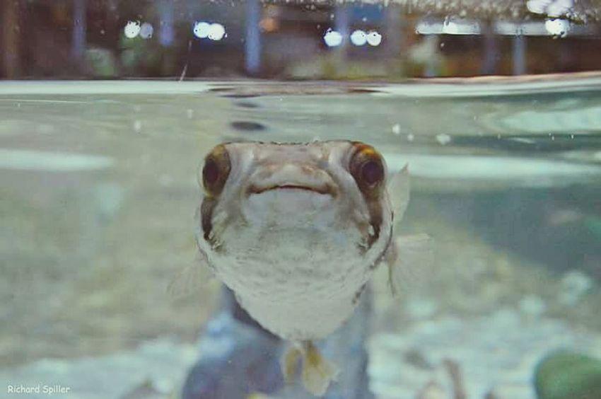 Selfie ✌ Selfie Fish Sealifeaquarium Sealife Pufferfish Nikon D3200 Sexyselfie Photography Underwater