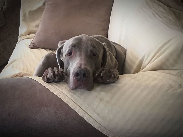 EyeEm Selects Dog Pets Domestic Animals One Animal Animal Themes Mammal Relaxation Sofa Lying Down Resting Indoors  No People Home Interior Looking At Camera Comfortable Portrait Bed Weimaraner Pit Bull Terrier Day