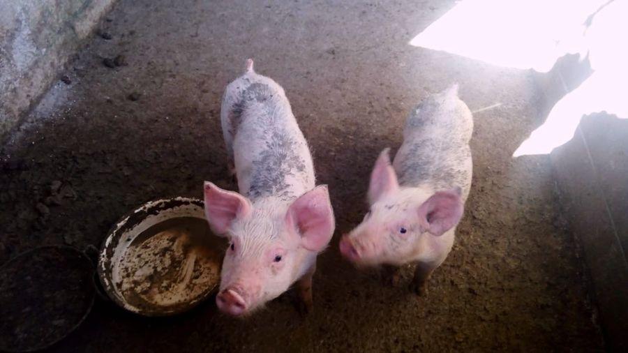 Pig'!! Mammal