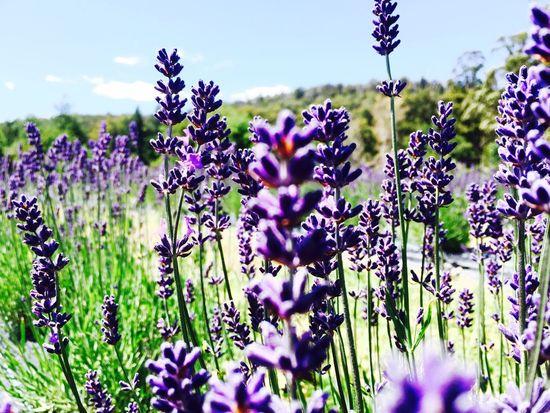 Lavender Farm, Port Arthur. Lavender Lavenderflower Lavenderfarm PortArthur Portarthurlavender Flowerfields Floral Flowerporn Flowers Relaxing Hobart Tasmania