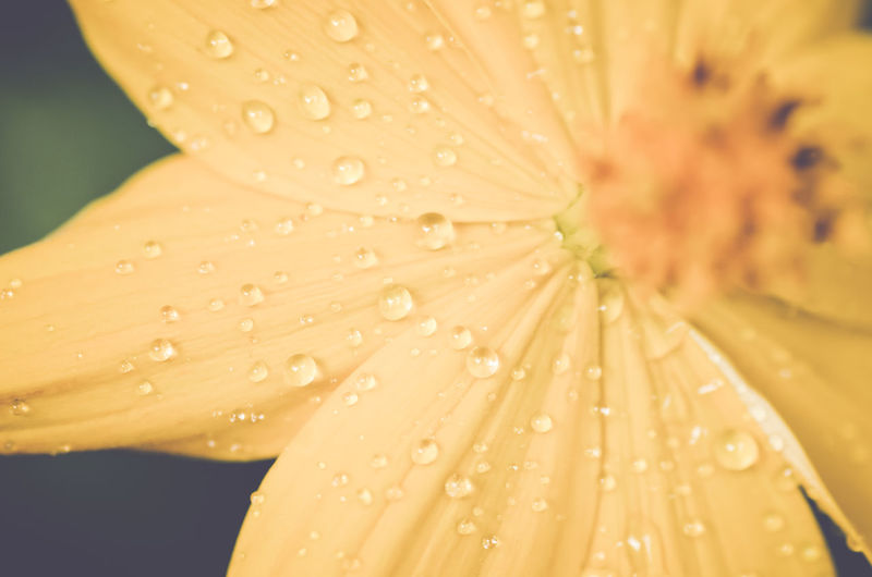 Macro shot of water drops on yellow flower