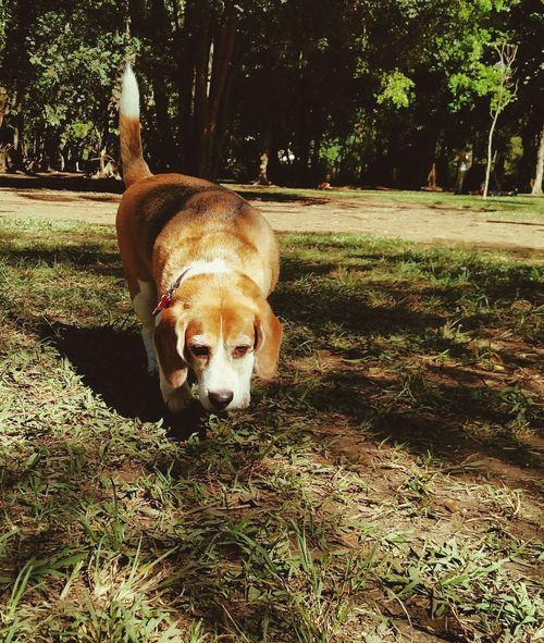 Billy dando um rolê Relaxing Beaglestagram Billyfanfarrão Beagle Beaglelife Pets Corner
