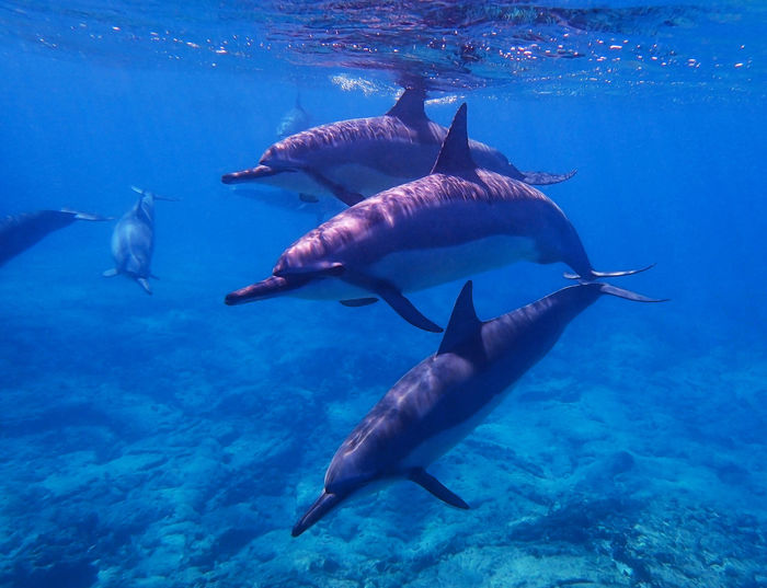 Trio of Spinner Dolphins Swims Towards Camera Underwater Diving Hawaii Life Snorkeling Spinner Dolphins Travel Adventure Animal Wildlife Animals In The Wild Beauty In Nature Blue Close-up Face First Fish Joy Large Group Of Animals Nature No People School Sea Sea Life Swimming UnderSea Underwater Water