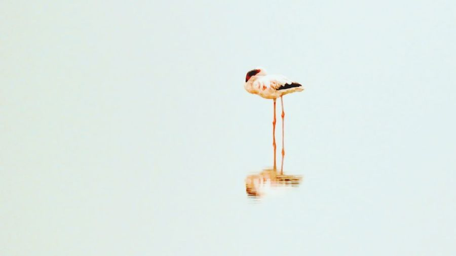 The lonely world Birding Bird Photography Birds_collection Nature Nature Photography Birds Reflection Bird Perching Water Animal Themes Flamingo Water Bird Lake Young Bird Freshwater Bird First Eyeem Photo The Creative - 2018 EyeEm Awards The Traveler - 2018 EyeEm Awards EyeEmNewHere