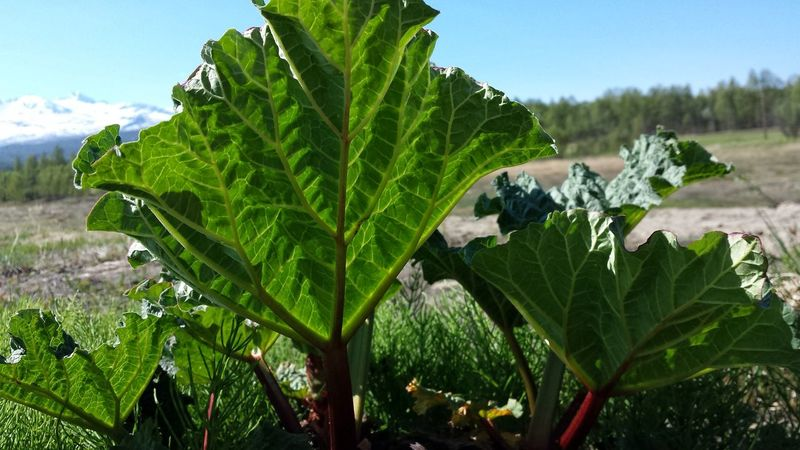 Agriculture Leaf Growth Nature Green Color Food And Drink Day Outdoors No People Rural Scene Plant Freshness Close-up Beauty In Nature Food Tree Sky Rhubarb Rhubarb Leaves Rhubarb Stalk Sunny Day Plant Vegetable Summertime Food And Drink