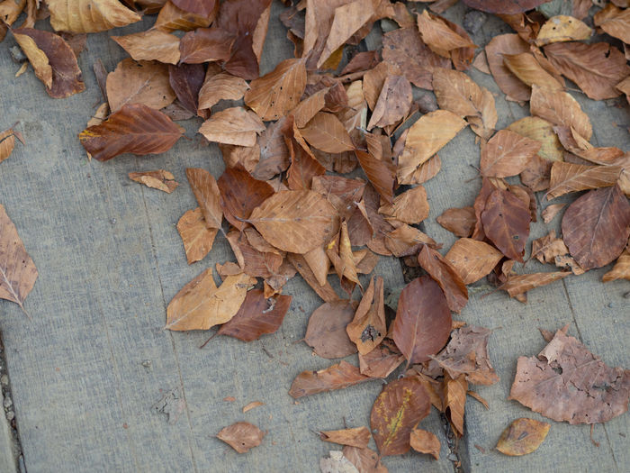 High angle view of dry maple leaves