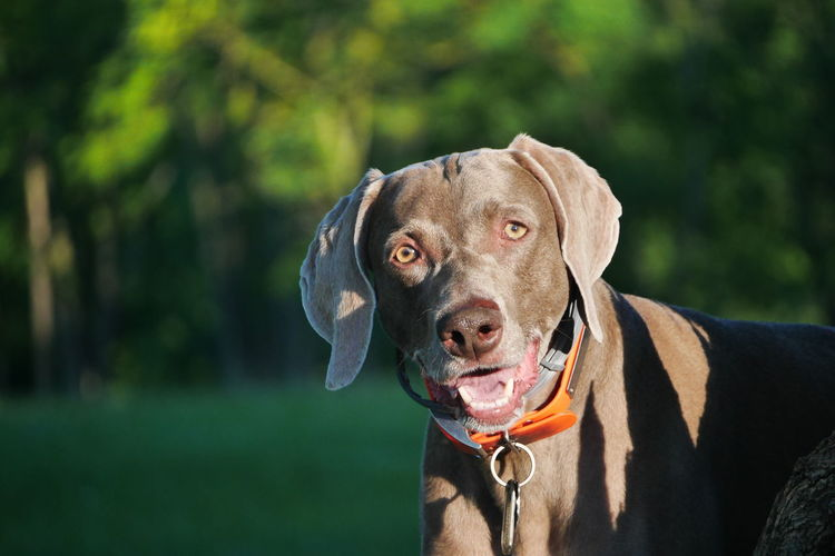 Close-up of weimaraner looking away at public park