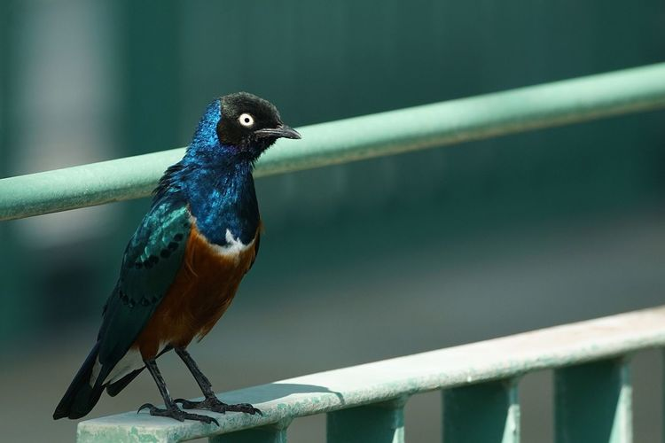 Close-up of superb starling perching on railing