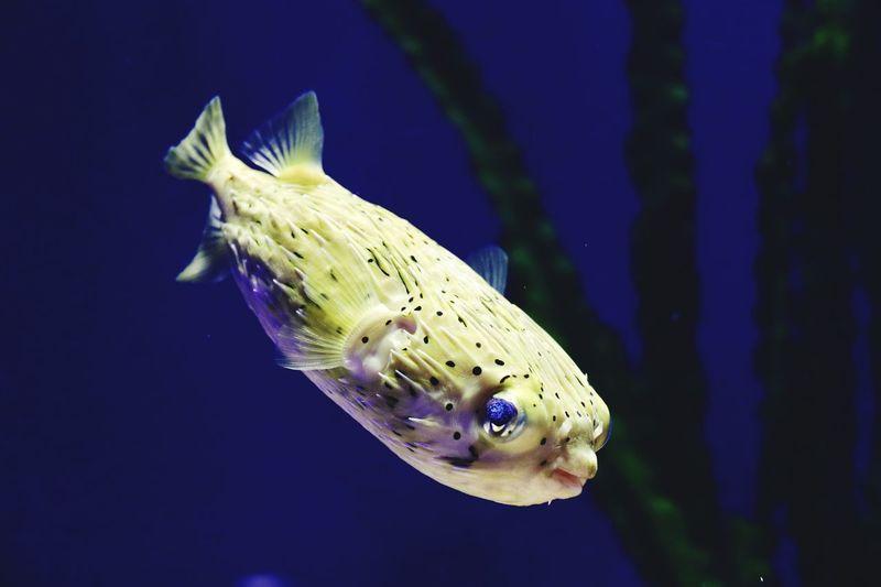 Globefish Eye Contact Avoidance Material Undersea World Globefish Animal Animal Themes Animal Wildlife Animals In The Wild Swimming One Animal Vertebrate Sea Animals In Captivity Fish