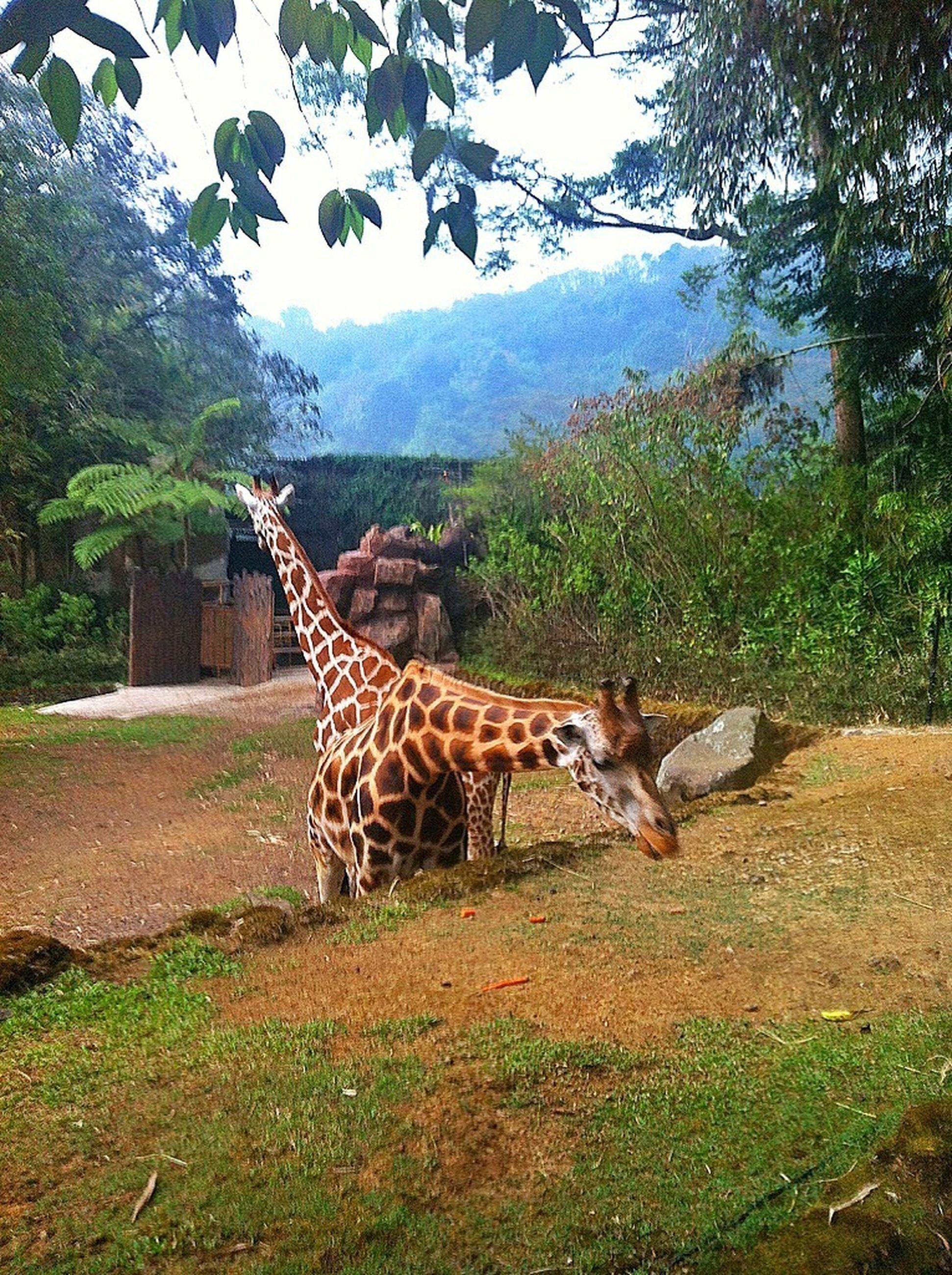animal themes, mammal, one animal, herbivorous, safari animals, tree, animals in the wild, domestic animals, wildlife, giraffe, grass, animal markings, field, standing, side view, two animals, grazing, zoology, relaxation, nature