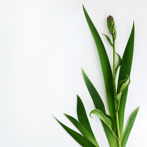 Beauty In Nature Close-up Copy Space Cut Out Fragility Freshness Green Color Growth Healthcare And Medicine Herbal Medicine Indoors  Leaf Medicine Nature No People Plant Plant Part Still Life Studio Shot White Background
