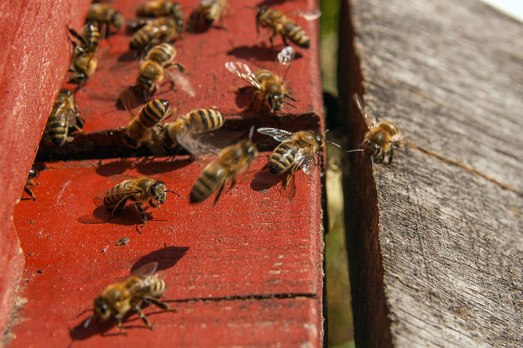 Animal Animal Themes Animal Wildlife Animals In The Wild APIculture Bee Beehive Close-up Day Flying Group Of Animals Honey Bee Insect Invertebrate Large Group Of Animals Nature No People Selective Focus Wood - Material