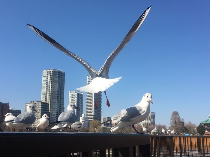 Landing Blue Sky White Color Pond Tokyo Japan Park Seagulls Sky Architecture Clear Sky Day Animal Nature Bird Animal Themes No People Vertebrate Built Structure Building Exterior Animal Wildlife Animals In The Wild Art And Craft Sculpture Sunlight Blue Group Of Animals City